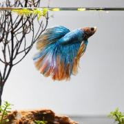Cara Beternak Ikan Cupang