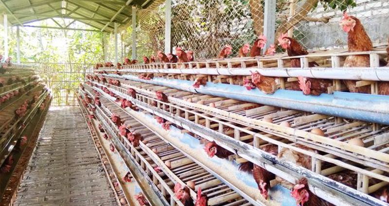 Usaha Budidaya Ayam Petelur
